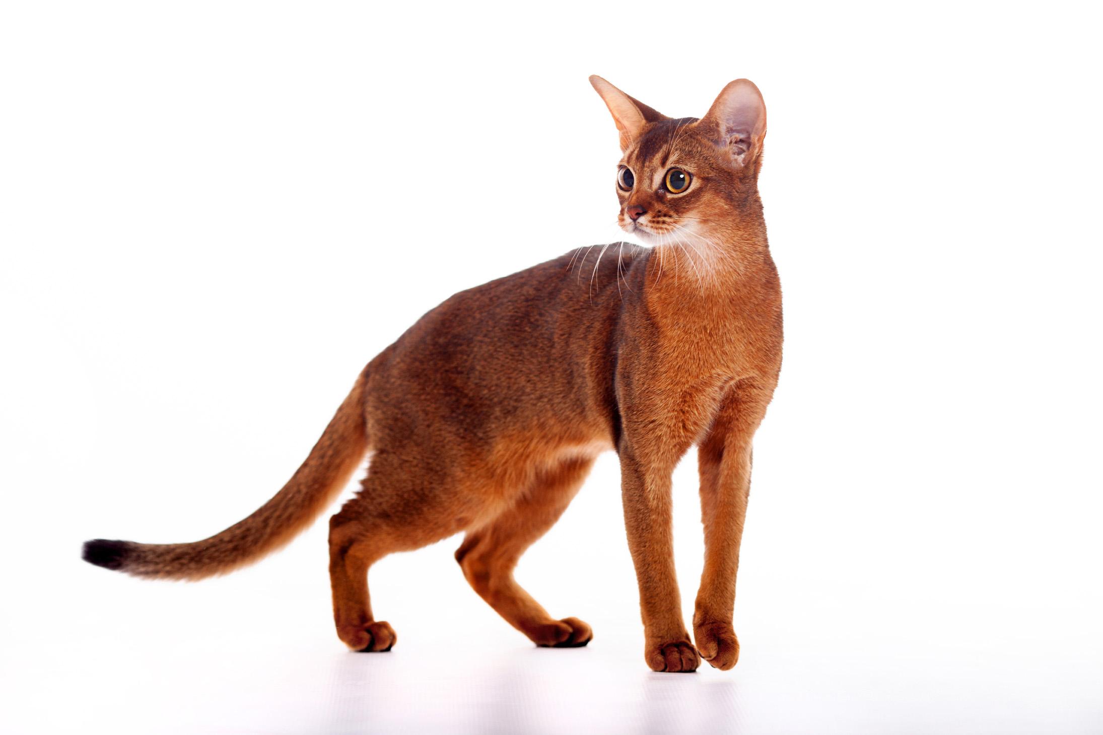 abesszín macska