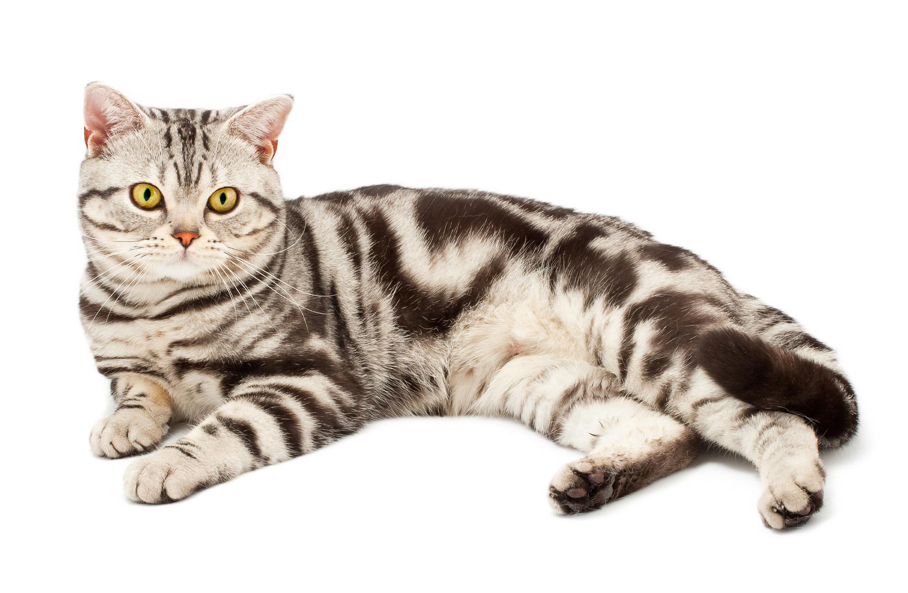 amerikai rövidszőrű macska