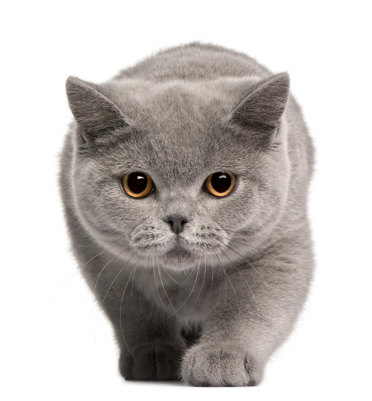 brit rövidszőrű macska