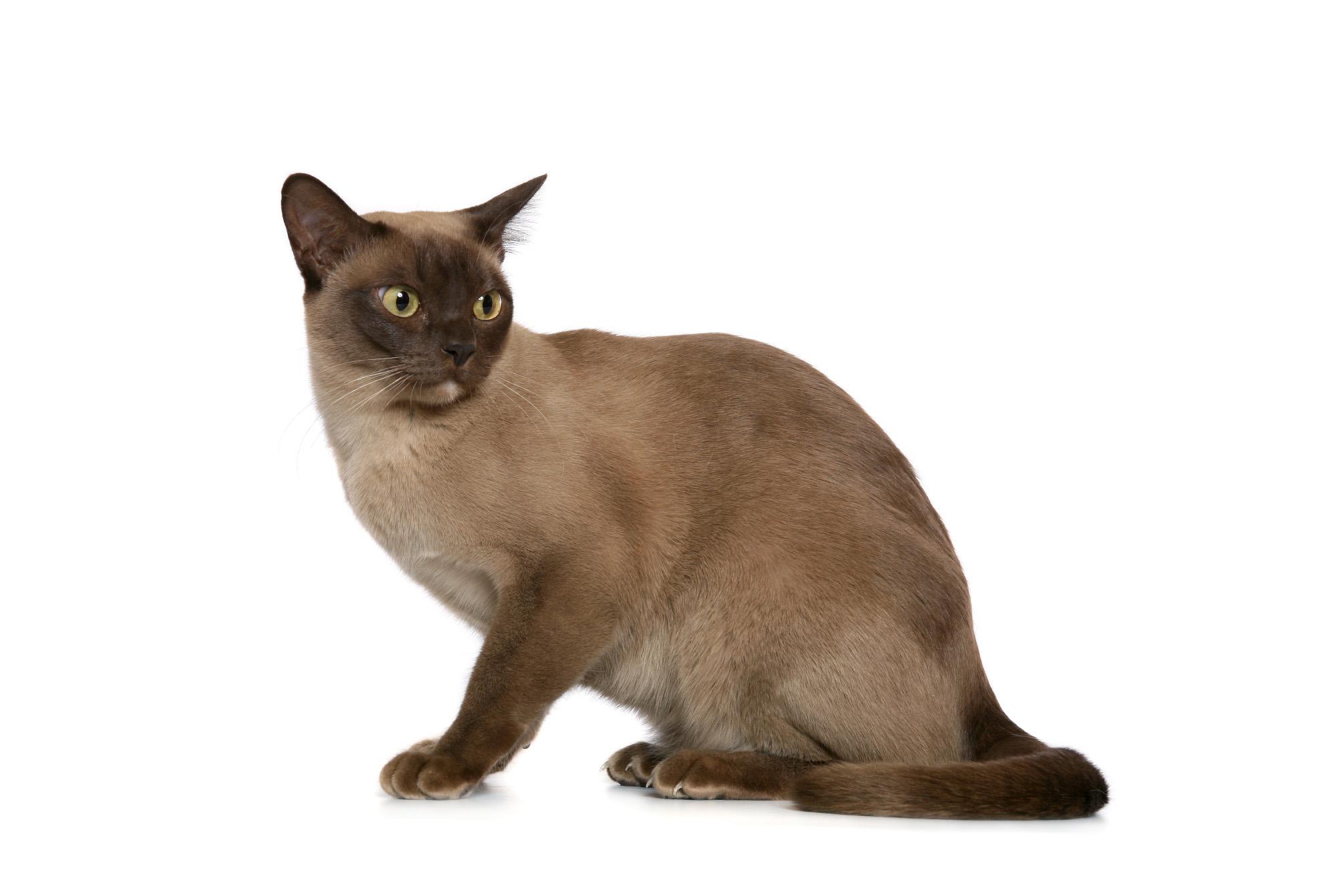 burmai macska