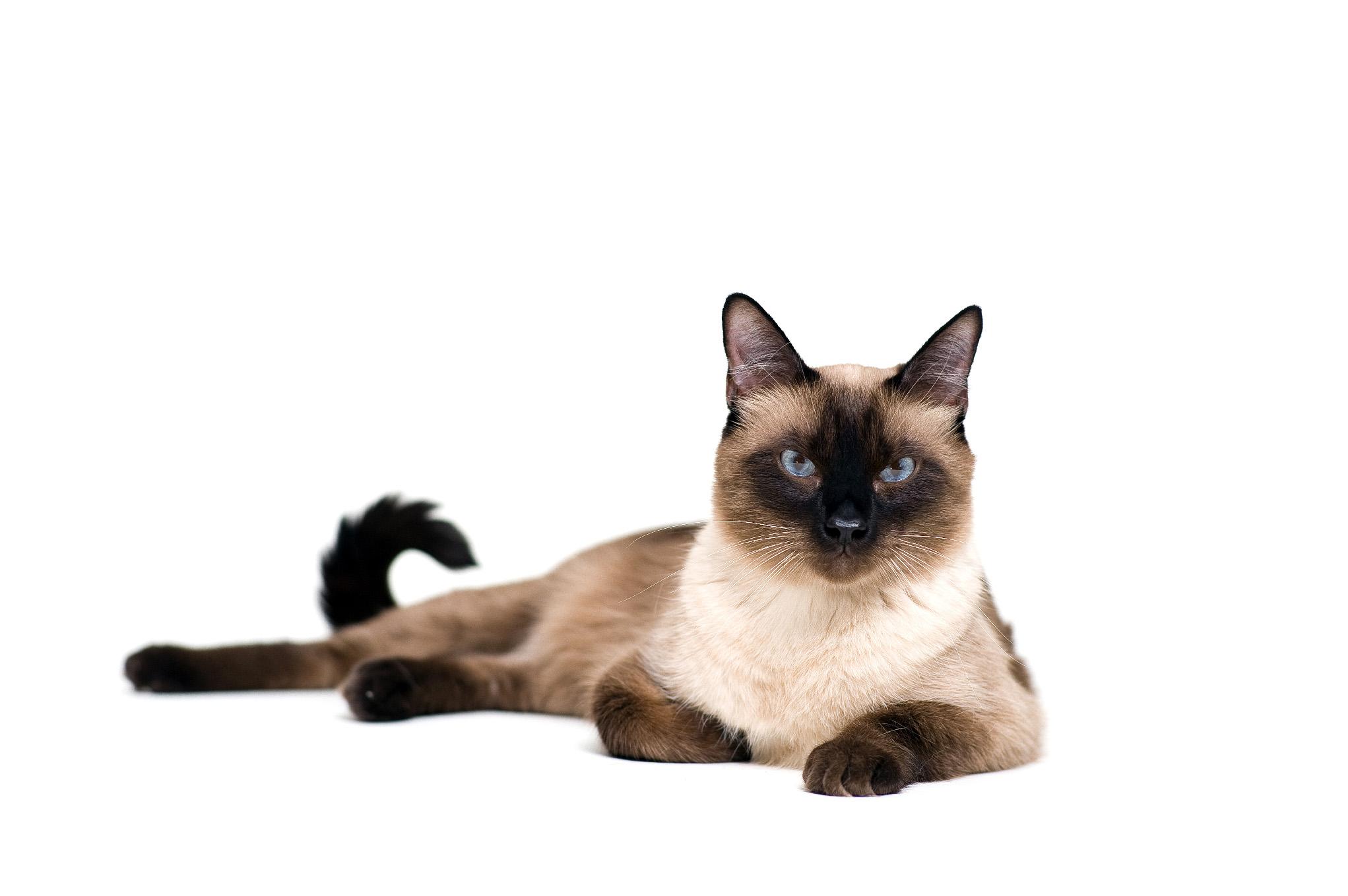 sziámi macska