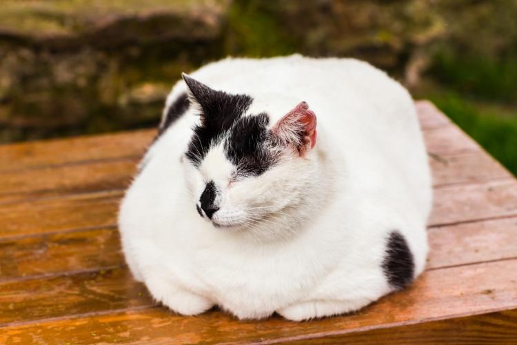 hogyan lehet a cica fogyni