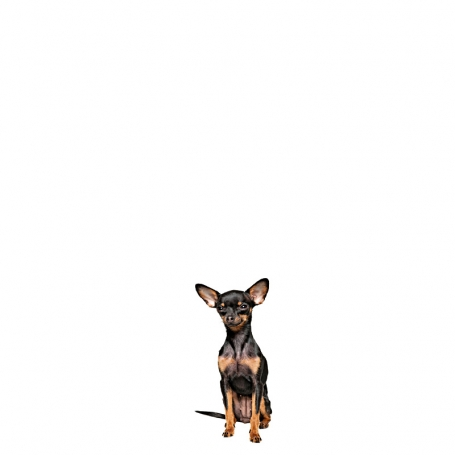 Angol toy terrier